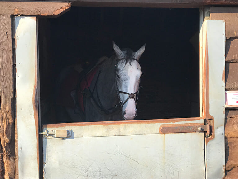 Black Sam Silver stood in Fergal O'Briens stables, Newmarket | Biddestone Racing