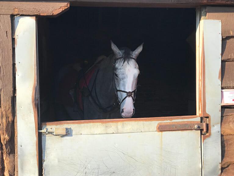 Black Sam Silver stood in Fergal O'Briens stables, Newmarket | Biddestone Racing